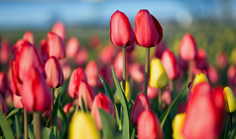 spring tulip festival ottawa ontario canada vacation packages cheap flights to ottawa