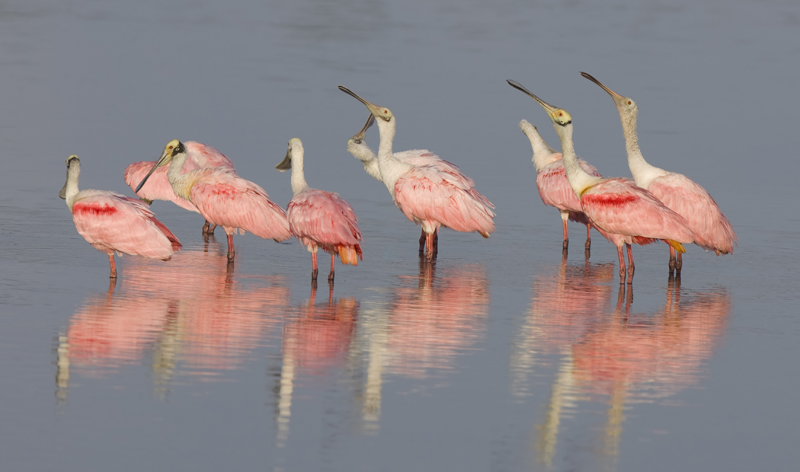 flock of roseate spoonbills fort myers florida usa vacation packages