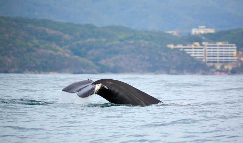 whale watching puerto vallarta mexico vacation packages